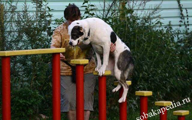 Дрессировка алабая: как правильно воспитать щенка в домашних условиях? Особенности дрессировки собаки на охрану. Руководство по дрессировке среднеазиатской собаки