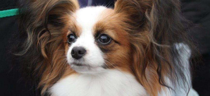 Собака папильон (папийон) — разноцветный континентальный той-спаниель с ушами-бабочками: описание, стандарт, внешность