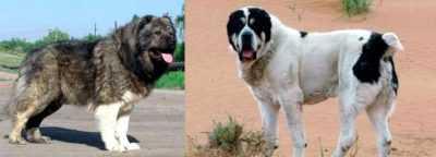 Кто круче: Алабай или Кавказская овчарка? Сравнение пород