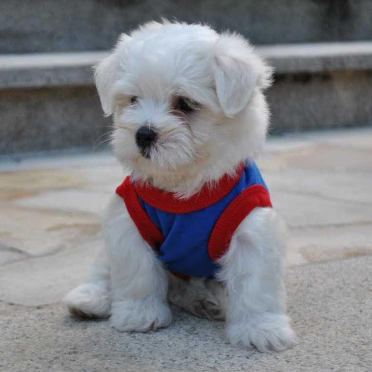 Мальтийская болонка: все о собаке, фото, описание породы, характер, цена -