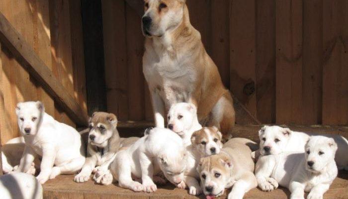 Алабай собака фото щенки два месяца белые