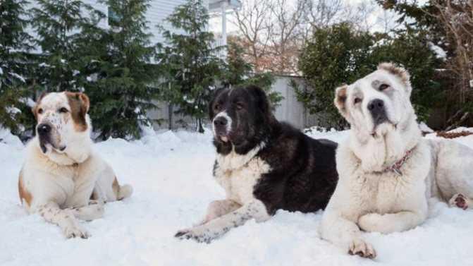 Алабай собака черный окрас