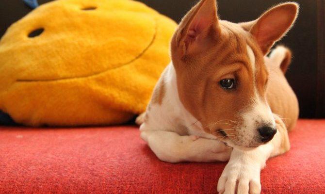Африканская басенджи - порода собак