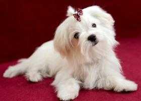 Вылечить слезные пятна у собак
