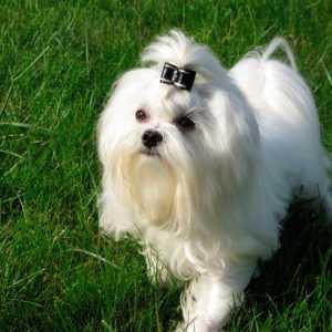 Стандарт породы Мальтийская болонка и грамотное содержание собачки