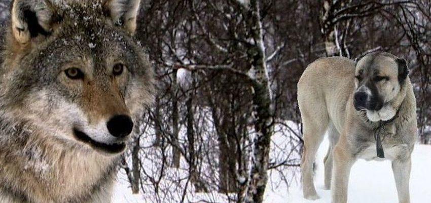 Кто сильнее - волк или алабай? Особенности и интересные факты