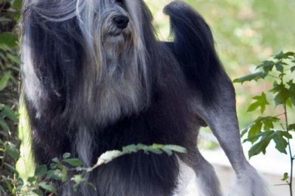 Малая львиная собака (Лёвхен, Lowchen) :: Интересности из Интернета ::