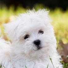 Мальтийская болонка: описание породы собак, советы по уходу и содержанию -