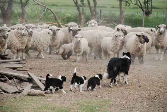 Охранник овец порода собака
