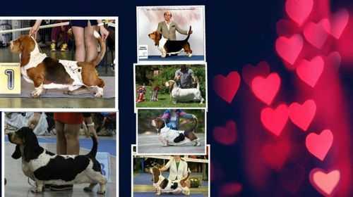 Питомники собак породы Бассет-хаунд