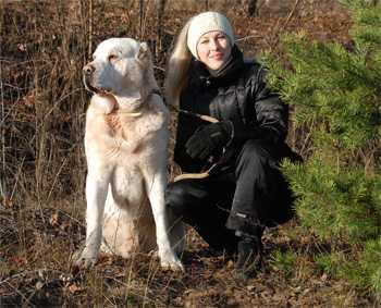 Особенности дрессировки взрослых собак и щенков породы алабай дома