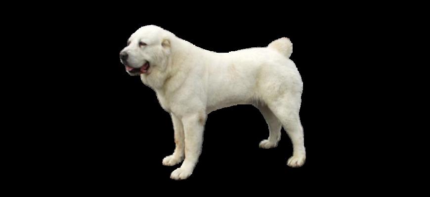 Дрессировка щенка и взрослого Алабая с выездом кинолога на дом в Москве и области. Недорого и профессионально