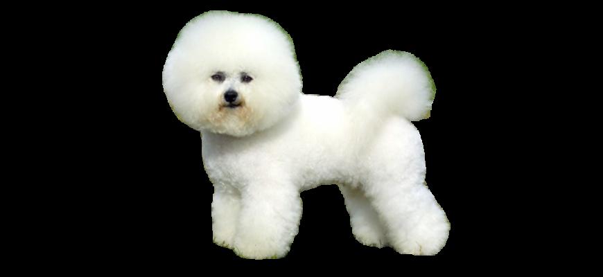 Бишон фризе - все о собаке, минусы и плюсы породы, фото