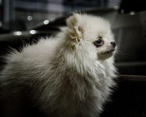 Колтуны у собаки: причина возникновения и вред, как распутать колтуны у собаки, что такое колтунорез, вспомогательные средства – шампуни и спреи