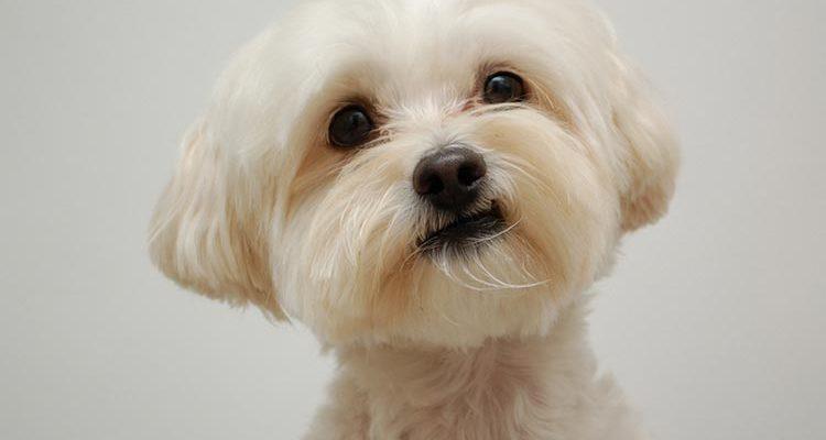 Мальтипу: описание породы, характер собаки и щенка, фото, цена