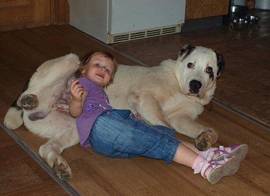 Все про породу собак алабай