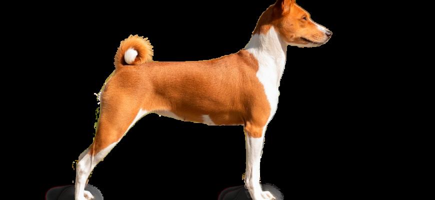 Басенджи – собака из глубины веков