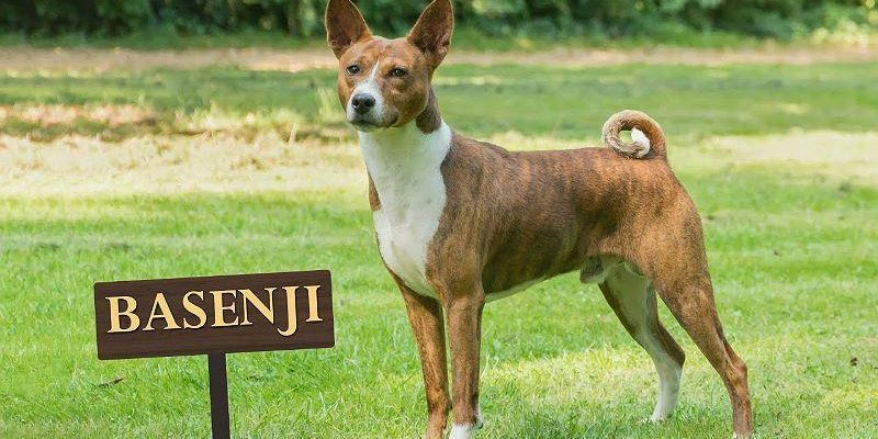 Басенджи 🐶 Фото, описание, характер, факты, плюсы, минусы собаки ✔
