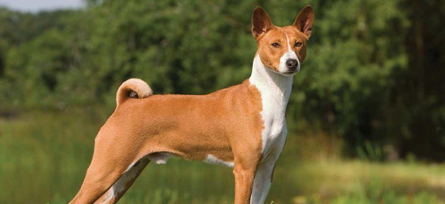 Порода собак басенджи и ее характеристики с фото