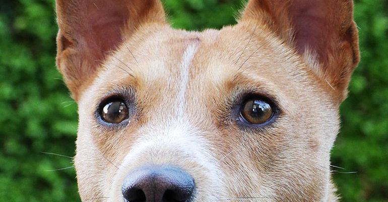 Басенджи - все о собаке, минусы и плюсы породы, фото