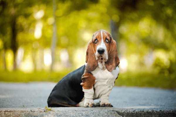 О породах собак №128. Бассеты, часть 1. Бассет-хаунд | Пикабу