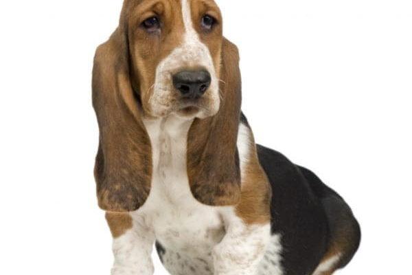 Воспитание щенка породы басетхаунт и фото басэт хаунда