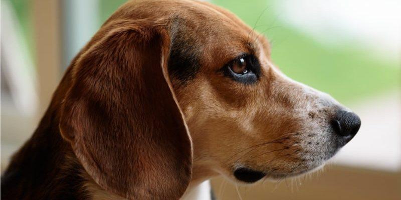 Бигль: все о собаке, фото, описание породы, характер, цена -
