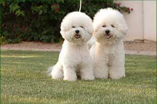 Обзор собак породы Бишон фризе: описание стандарта, содержание и фото