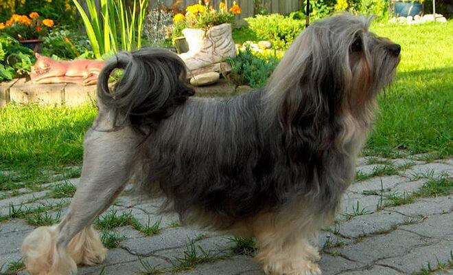 Лион бишон – фото собаки, описание породы, цена щенка