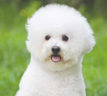 ᐉ Как обучить собаку породы бишон фризе - ➡