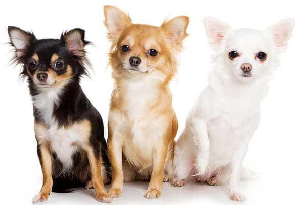 17 собак-метисов, которые своей красотой затмят чистокровных собратьев | Пикабу