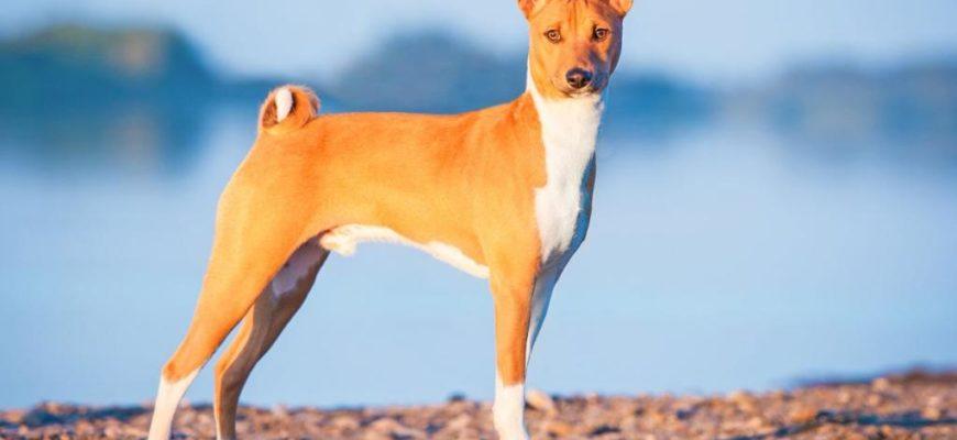Басенджи собака характеристики плюсы и минусы