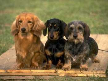 Корги, кокапу и бассет-хаунд: каких собак предпочитают англичане - ZIMA Magazine