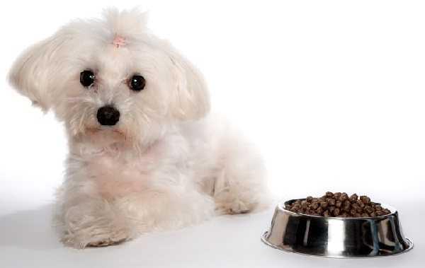 Болонка собака как кормить