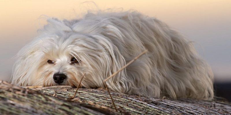 Хаванез(Гаванский бишон) Описание, плюсы и минусы, выбор щенка, питомники.