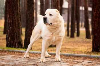 Алабай собака фото, порода среднеазиатская овчарка характеристика, ценок