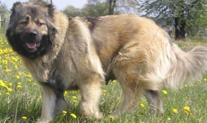 Кто больше кавказец или алабай. Кавказская овчарка против алабая, собачьи бои с фото и видео. Бойцовские тесты алабаев