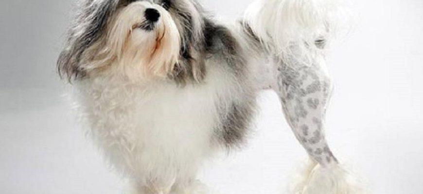 Лион бишон (левхен, малая львиная собачка) | DecorDog