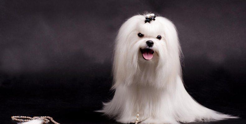 Мальтезик ( мальтезийская болонка ) описание породы собак