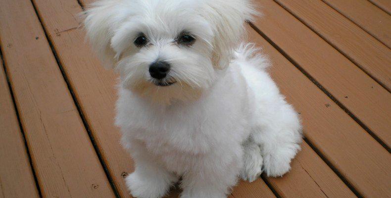 Мальтийская болонка 🐶 Фото, описание, характер, факты, плюсы, минусы собаки ✔