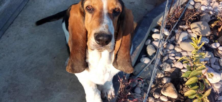 Купить Бассет в Нижнем Новгороде, щенки и собаки – объявления на