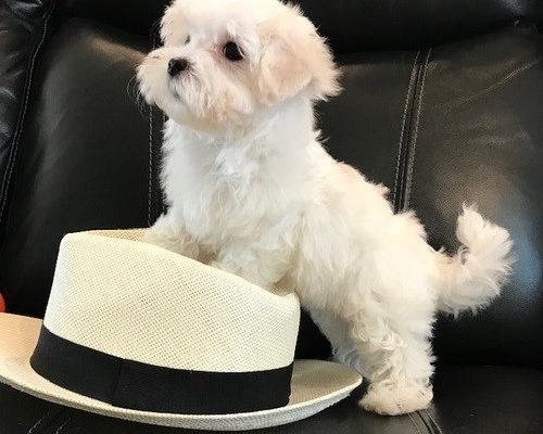 Гаванский бишон собака. Описание, особенности, виды, уход и цена породы гаванский бишон | Живность.ру