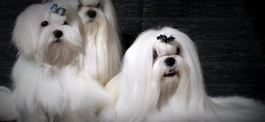 Бишон фризе похожие собаки