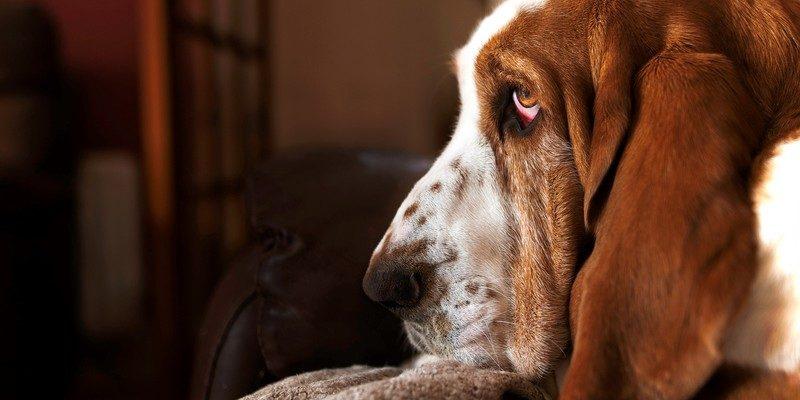 Собака Бассет-хаунд (10 фото): плюсы и минусы, описание, информация, оценка породы