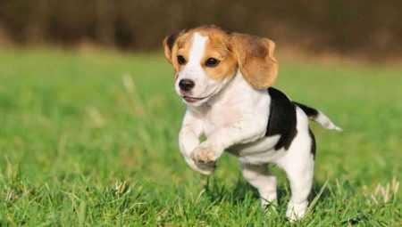 Басенджи: фото собаки, стандарт породы, разведение щенков, стоимость и другие характеристики