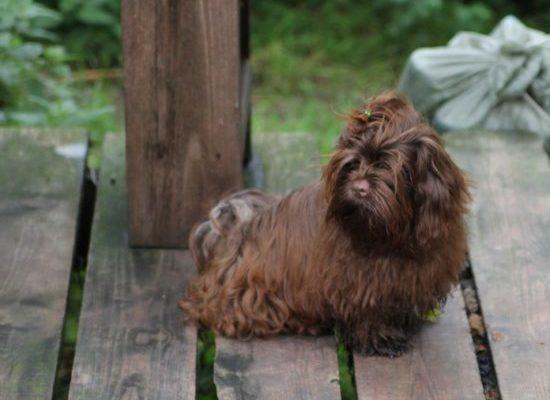 Русская цветная болонка: фото и описание породы собак