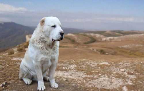 Алабай умная собака или нет