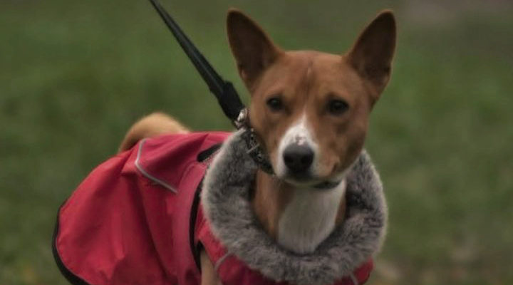Басенджи — единственные собаки, которые не умеют лаять - ЖИВОЙ УГОЛОК - медиаплатформа МирТесен