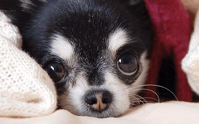 От чего у собаки нос белеет
