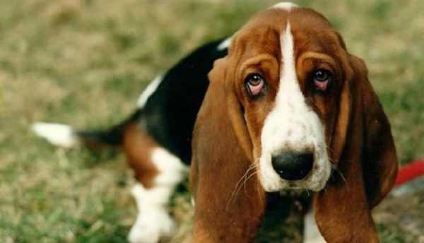 Джек Рассел Терьер: фото и описание породы, характеристика собаки и уход